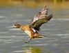Birds on Lake Sacajawea , Longview WA :