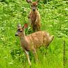 2011-06-01 Deer Tales :
